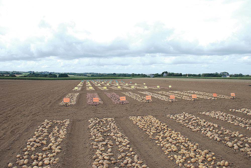 Photo of La filière plants de pomme de terre définit sa stratégie pour 2014