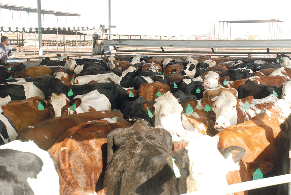 californie-vache-laitiere-lait-prix-crise-export-production