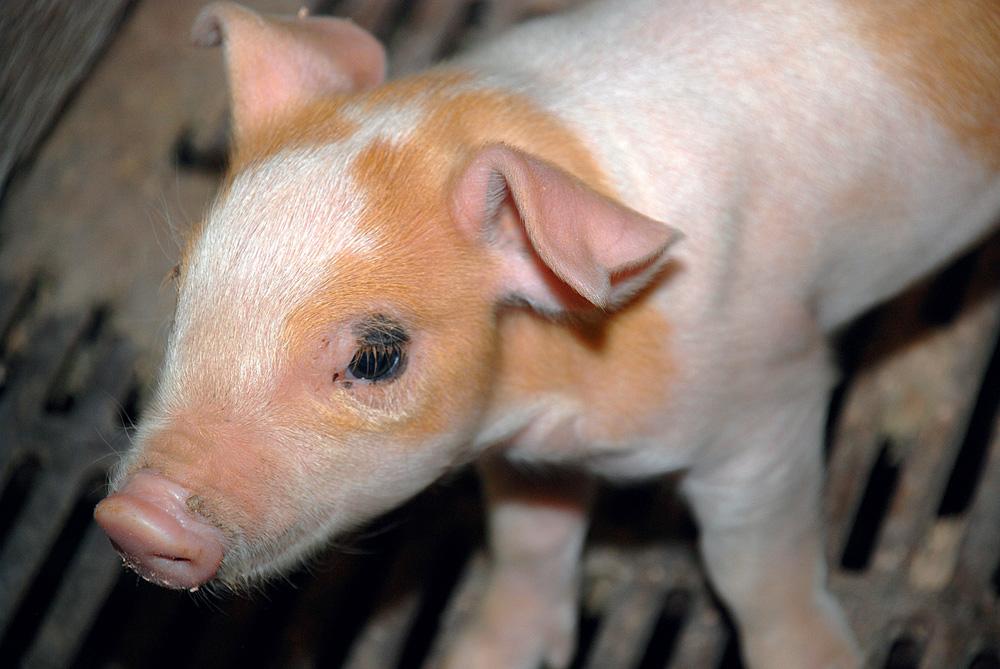dep-diarrhee-epidemique-porcine-porc-sante-animale-porcelet-virus-maladie