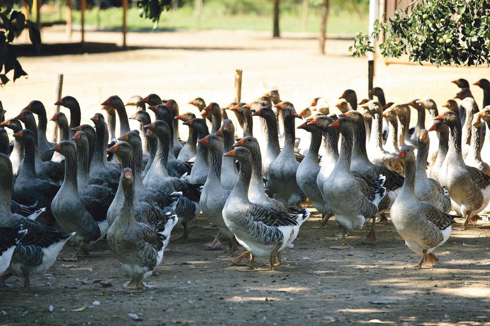 Photo of Foie gras : la filière marque le pas