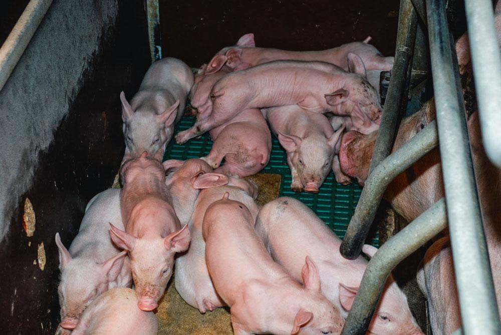 Photo of Le forfait TVA allemand agace les producteurs de porcs français