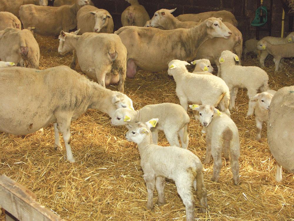 agneau-ovin-pac-aide-fno-interbev-eleveur-brebis