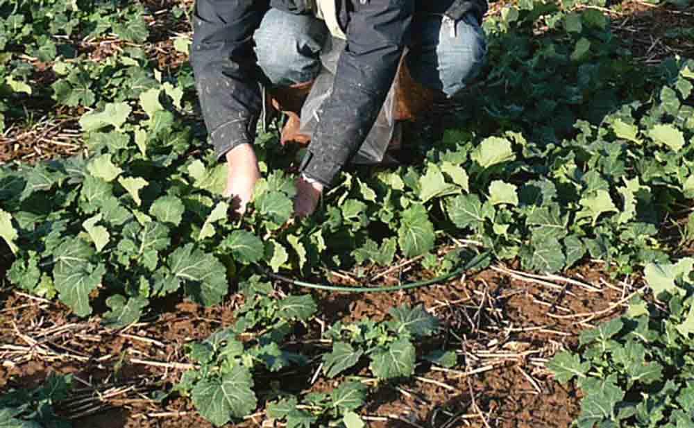 biomasse-azote-colza-culture-fertilisation