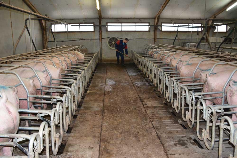Photo of Un éleveur de porc génère 6 emplois indirects