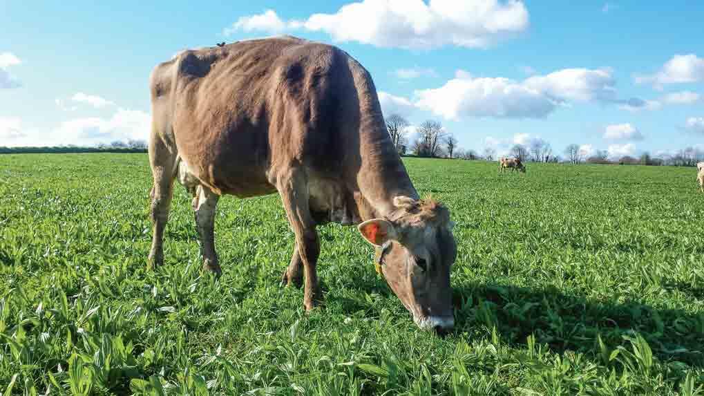 Photo of Le plantain Ceres Tonic  comme plus-value de la prairie