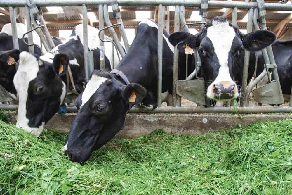 vache-laitiere-prim-holstein-lait-paturage-herbe-alimentation-ration-mais-investissement