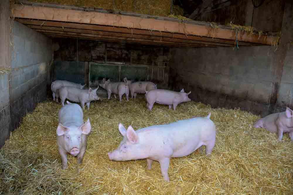 Photo of Performance économique en production porcine : pas de schéma unique