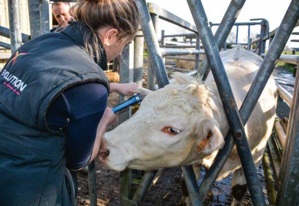 Amélie Colliot, inséminatrice Évolution, effectue les prélèvements de cartilage sur les oreilles avec une pince emporte-pièce.