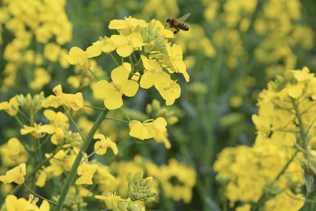 Photo of La floraison du colza est un stade clé