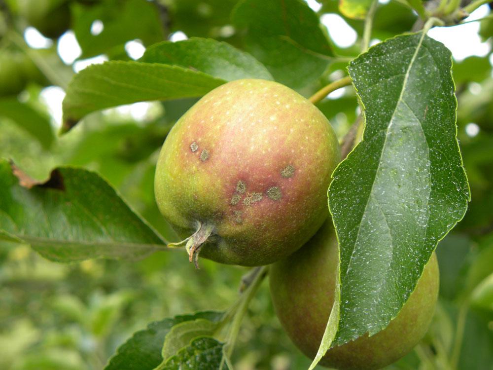 Photo of Pommes : les exportations progressent vers l'Europe, en repli vers l'Asie