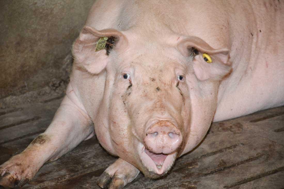 Photo of Le prix du porc sous la pression des Espagnols