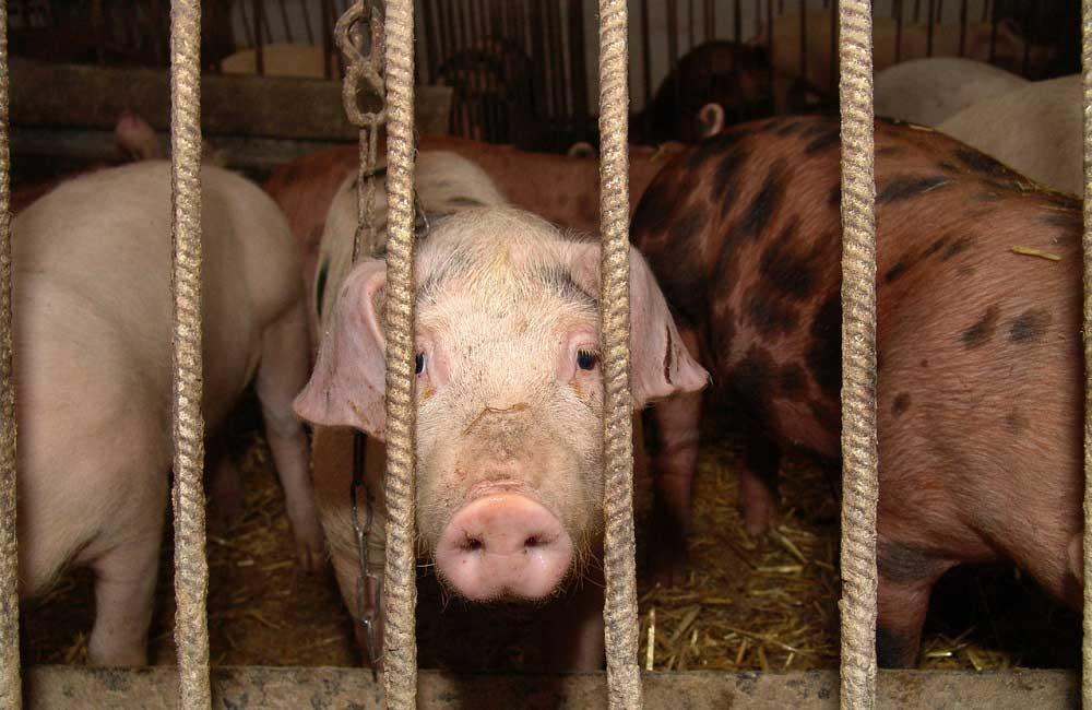 Photo of Russie : Ariant investit dans le secteur du porc