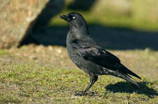 L'oiseau prolifère, s'attaque à toutes cultures et perce les bâches de stock de fourrage.