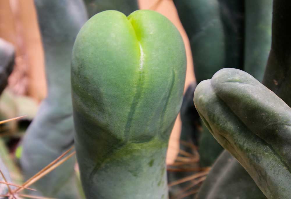 Photo of [Insolite] Les zizis cactus, quand dame nature se lâche