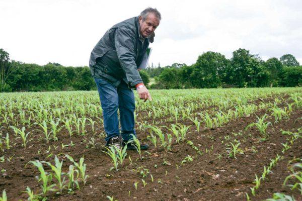 Didier Goubil montre la partie ressemée de la parcelle cultivée par Patrick et Mathieu Charpentier, ravagée par endroit.