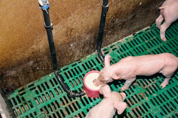 Toutes les cases de maternités sont équipées d'une augette (système breveté). Elles sont montées en série sur le réseau de lait (200 mètres de tuyaux souples). Lorsque le porcelet joue avec la pipette, le lait jaillit dans l'auge. Dès qu'il arrête, un système de blocage empêche le liquide de redescendre (pas de risque de souillure du lait résiduel dans le tuyau). Le lait est distribué dès la fin de la prise colostrale (le samedi matin). L'éleveur passe, le premier jour, dans toutes les cases pour actionner la pipette de manière à faire jaillir le lait dans le fond d'auge et attirer les porcelets. Ils prennent ensuite rapidement l'habitude de venir consommer. Le lait, disponible à tout moment, en libre-service pour les porcelets, est alors à une vingtaine de degrés.