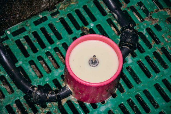 Deux poudres de lait ont été conçues pour coller au mieux aux besoins des porcelets. La première, distribuée de 2 à 14 jours, est proche de la composition du lait maternel. La seconde, utilisée après 14 jours de vie, prépare le tube digestif au sevrage. Elle contient des protéines végétales solubles. Sur l'élevage Poirier, aucune transition n'est réalisée entre les deux poudres de lait. En moyenne, chaque porcelet ingère 500 g de poudre sur la vingtaine de jours en maternité.