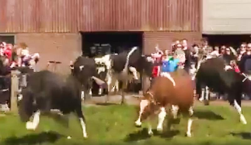vache-folle