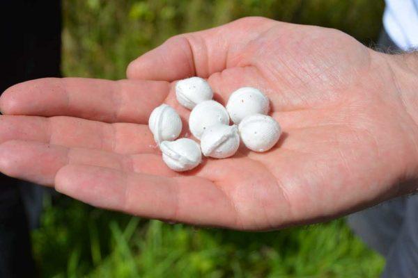 Les capsules, déposées dans la parcelle,  vont libérer progressivement 7 générations de trichogramme