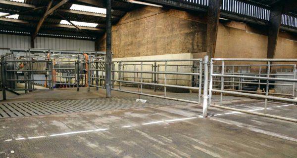 Le parc d'attente est divisé en deux, chaque vache restant ainsi dans son lot.