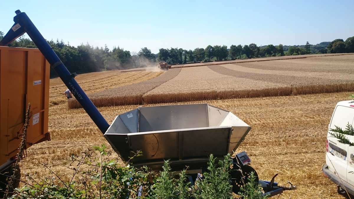cereales-ble-triticale
