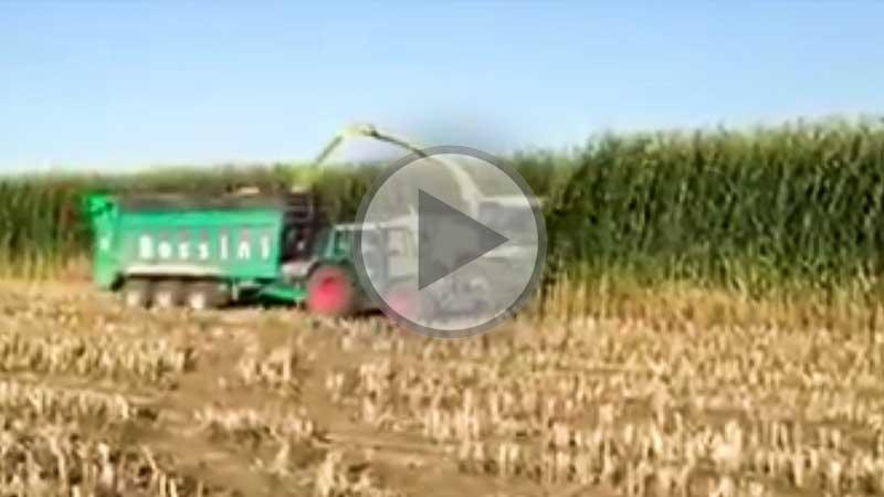 Photo of Quand ton maïs n'a pas manqué d'eau