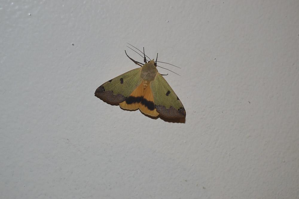 Des papillons pris par la nuit journal paysan breton - Que mange les papillons de nuit ...