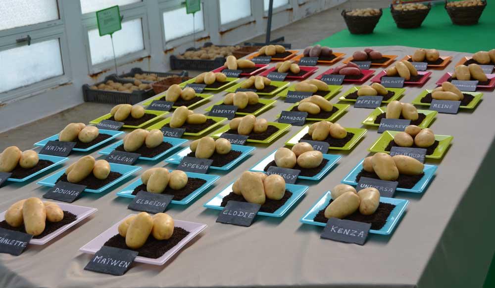 pomme de terre bretagne plants montre son savoir faire journal paysan breton. Black Bedroom Furniture Sets. Home Design Ideas