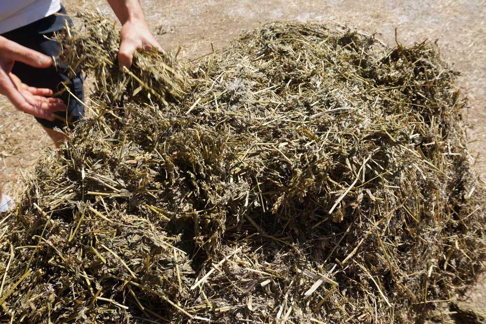 Photo of La luzerne complémentaire du maïs fourrage