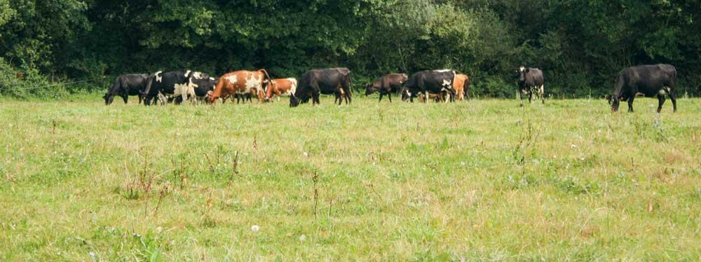 vache-herbe-2