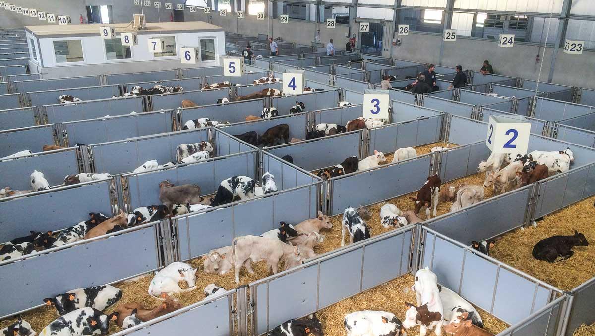 Photo of 2500 veaux par semaine pour le nouveau centre d'allotement