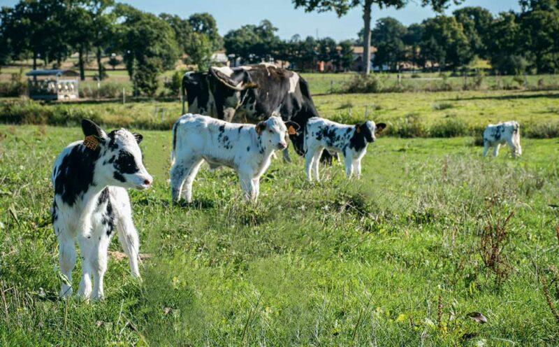 Au Gaec des Marguerites, à la belle saison, les veaux croisés sont élevés dehors sous des vaches nourrices.