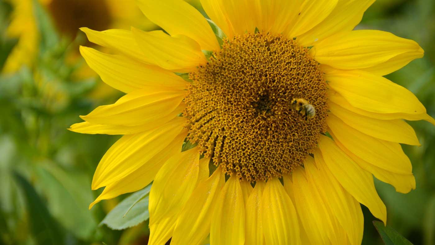 tournesol-methanisation-abeille