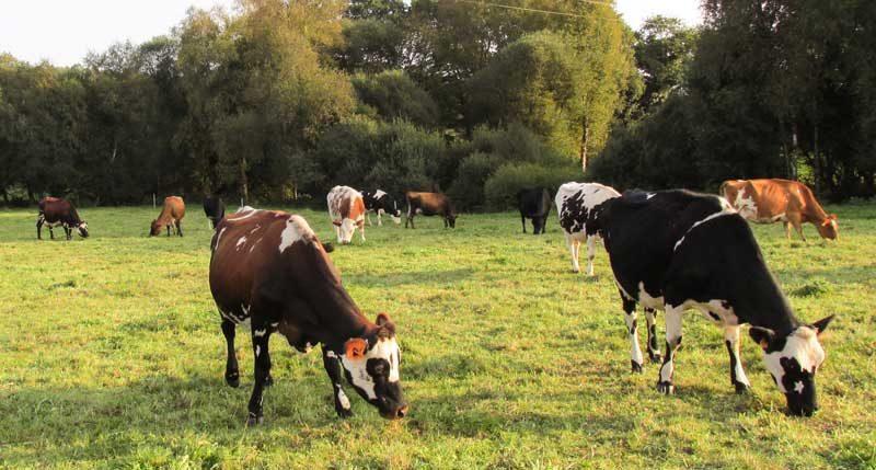 vache-pature-herbe-automne