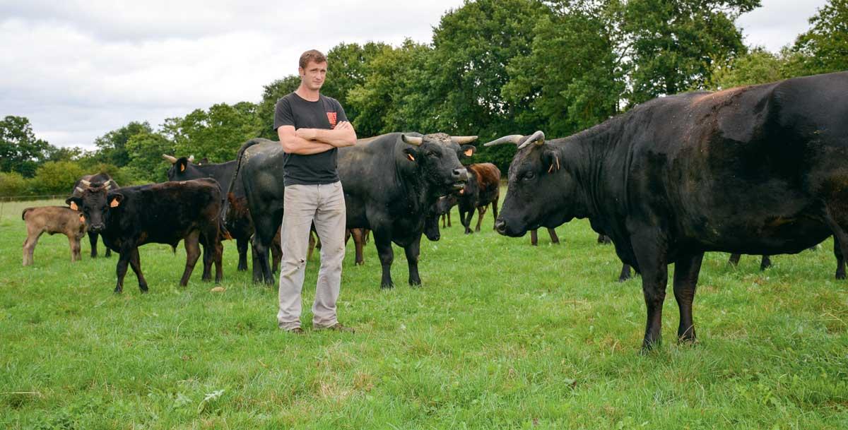 Le troupeau de Wagyu de Sébastien Chérel totalise 75 animaux dont 30 mères et 4 mâles reproducteurs. C'est une race calme, paisible, produisant une viande très persillée.