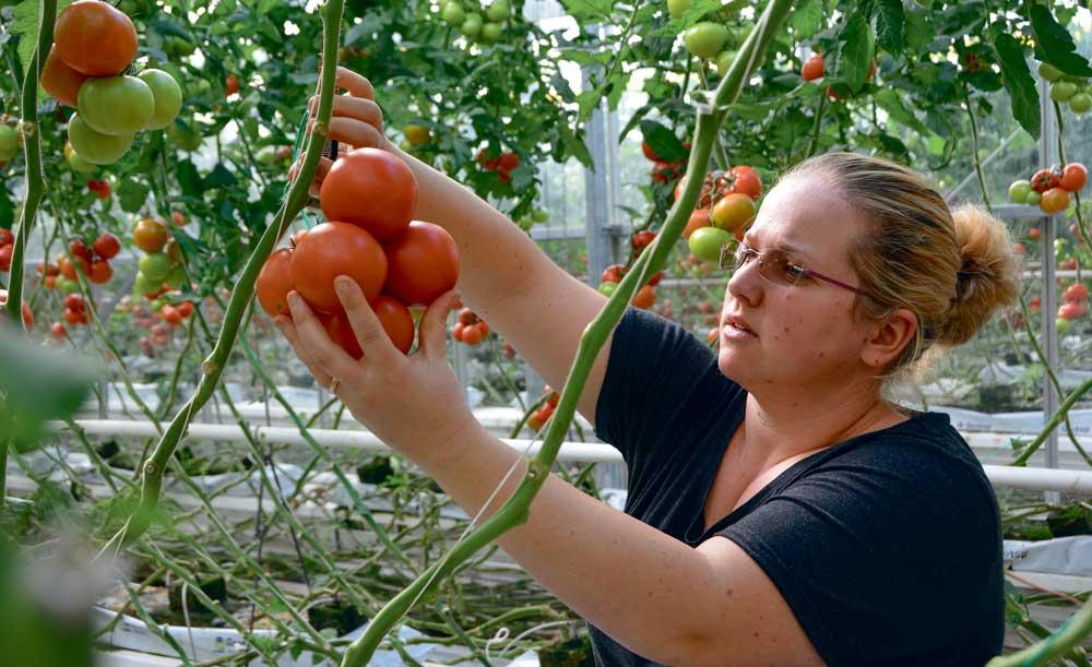 Gestion de l'ambiance des apports nutritifs… les points communs sont nombreux entre production porcine et culture de tomate.