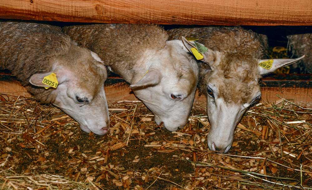 Photo of Mieux répartir le concentré sur la phase d'agnelage