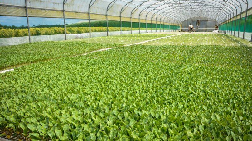 Chou-fleur : l'élevage de plants, un bon plan | Journal Paysan Breton