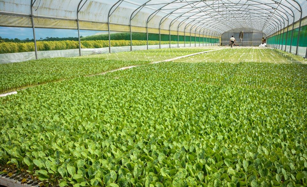 Photo of Chou-fleur : l'élevage de plants, un bon plan