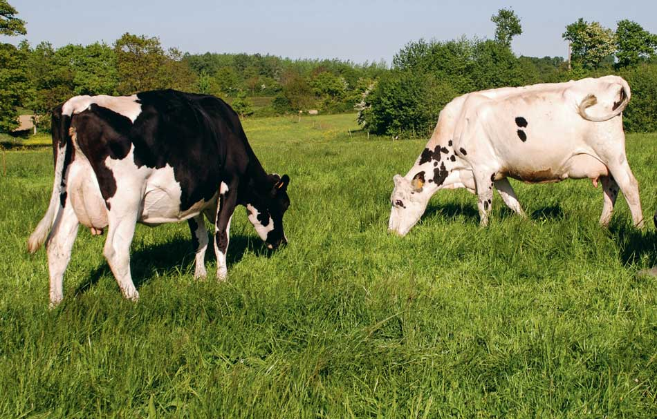 vaches-patures