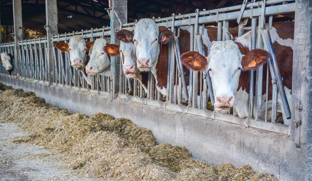 Photo of Plus de lait en déléguant l'élevage des génisses