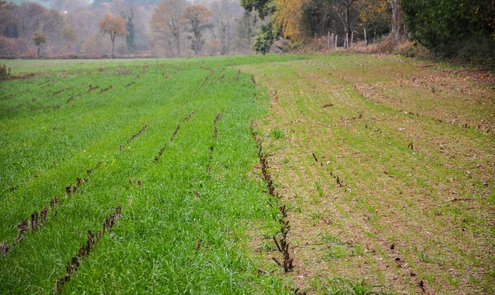 À gauche, une bande de RGI semée sous maïs, sans binage. À droite, du RGI semé le 10 octobre après ensilage. Les essais sont réalisés en relation avec la Chambre d'agriculture dans le cadre d'un programme porté par Eau du Morbihan.