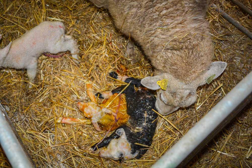 Photo of La vigueur des agneaux, nouveau critère de sélection