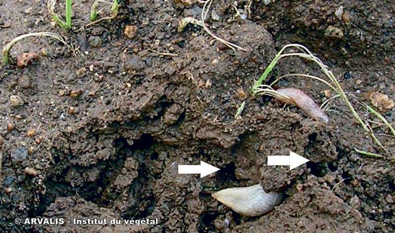 Photo of Céréales : surveiller les limaces dans vos parcelles