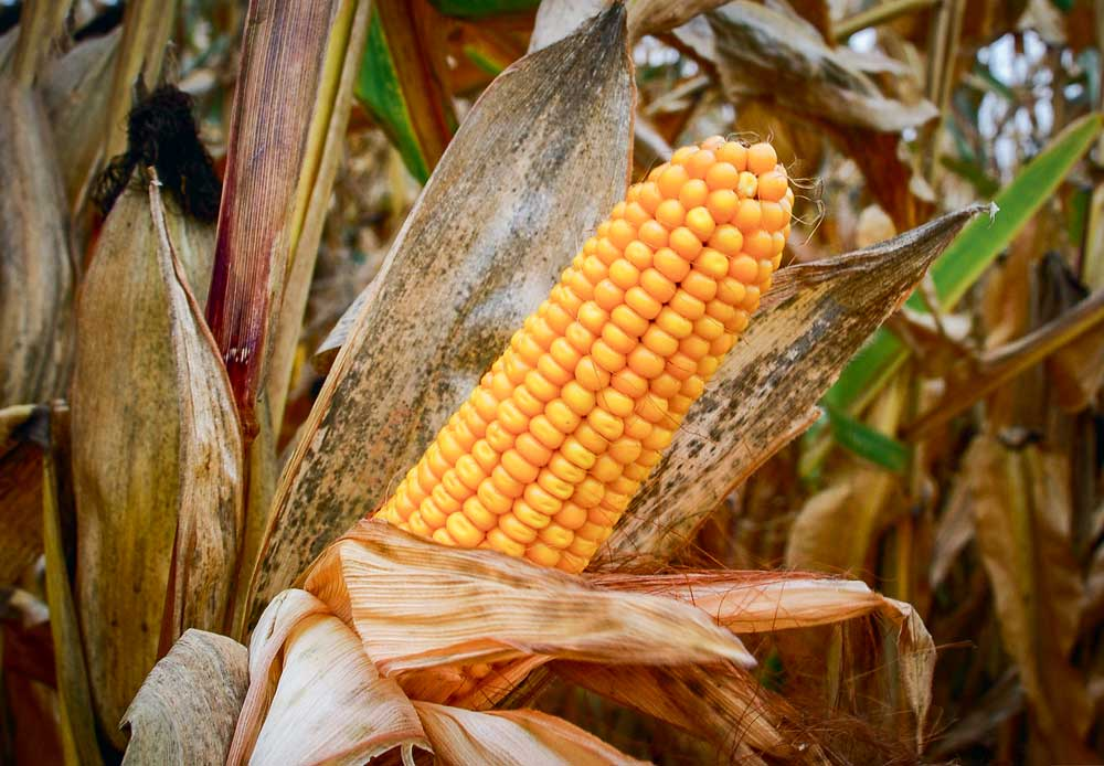Photo of La hausse de la production mondiale de grains suspendue au maïs américain