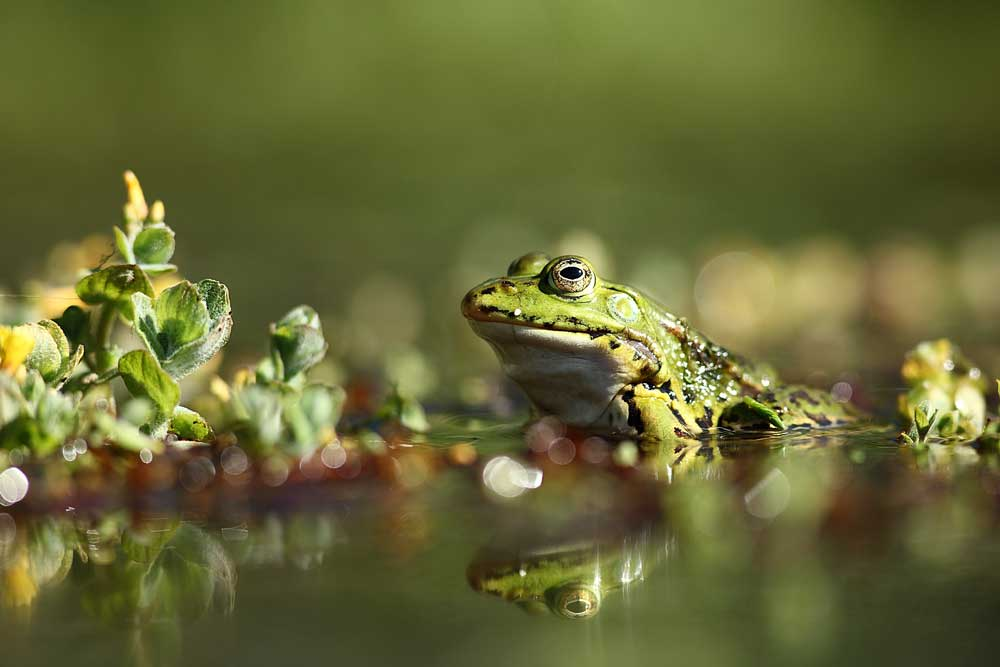 photo-nature-mickael-liechty-grenouille