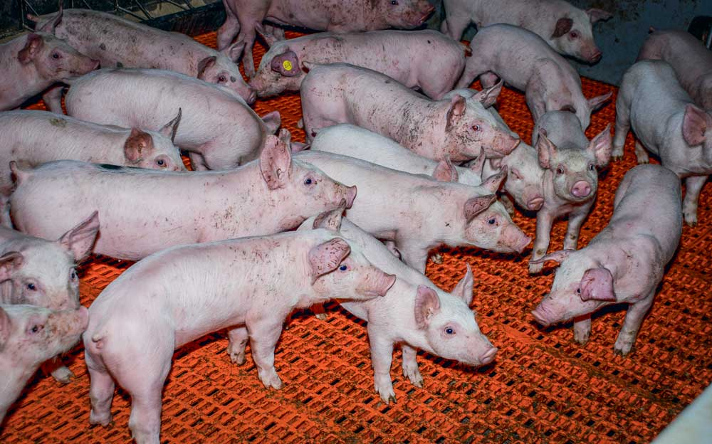 Photo of De l'alimentation des porcs à l'agronomie