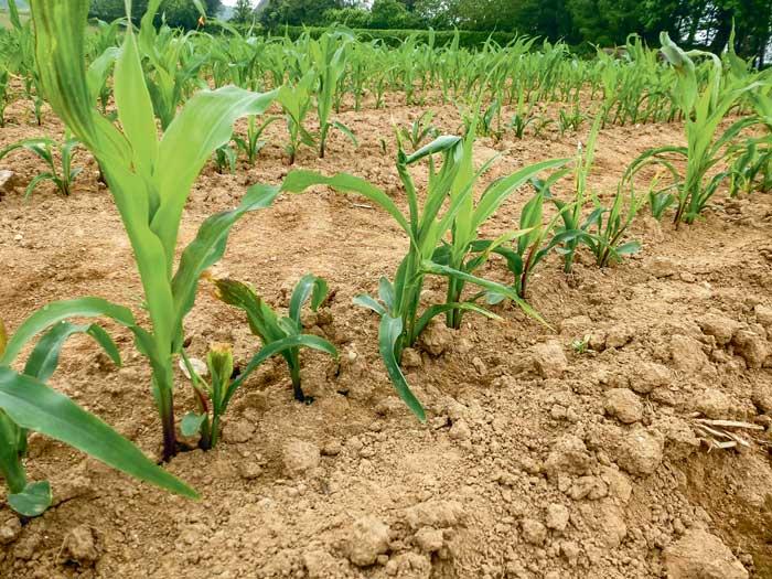 Dans certaines parcelles touchées, on a observé des redémarrages de plantes. Ces plantes ont produit du grain, mais pas suffisamment pour compenser les pertes de rendement.