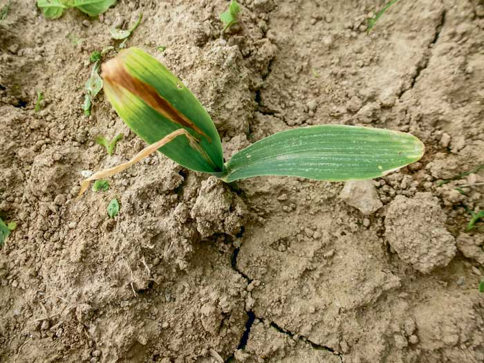 Symptôme typique suite à une attaque de mouche géomyze au stade 3-4 feuilles. La plus jeune feuille est desséchée, les deux premières feuilles restent vertes.