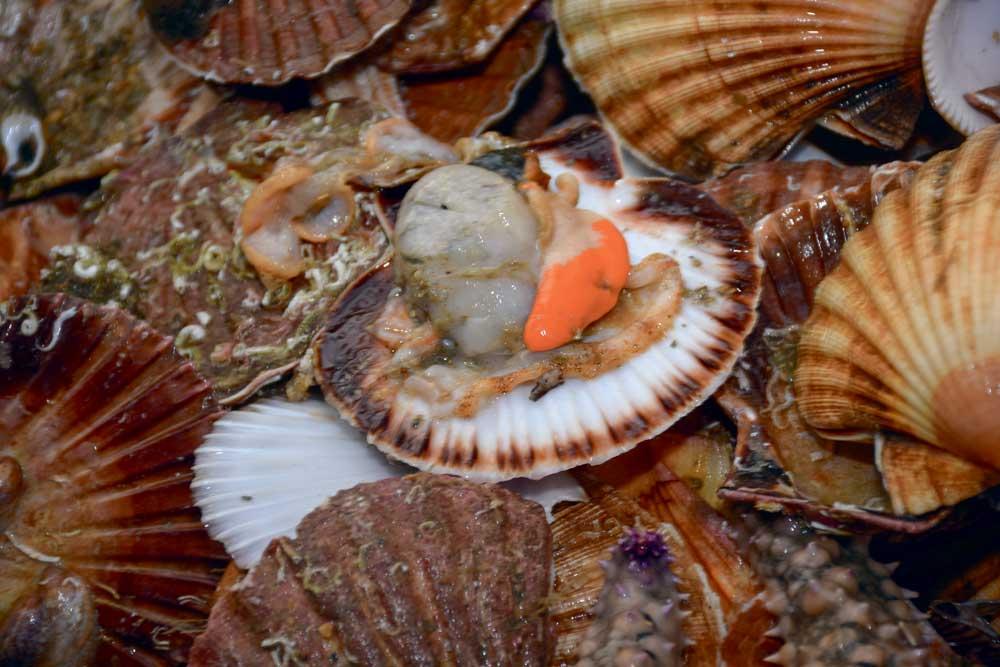 Photo of Saint-Jacques de la Baie de Quiberon et des courreaux de Belle-Île, une des perles du Morbihan